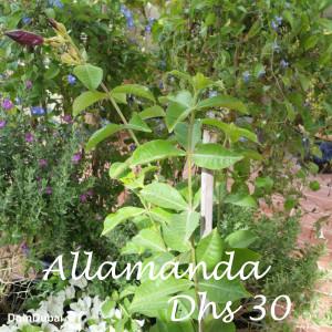 Dubai Gardening Allamanda