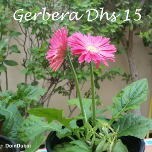 Dubai Gardening Gerbera