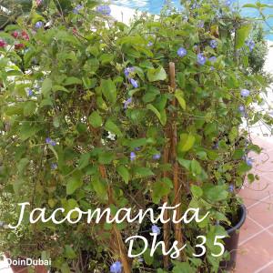 Dubai Gardening Jacomantia