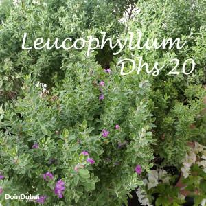 Dubai Gardening Leucophyllum