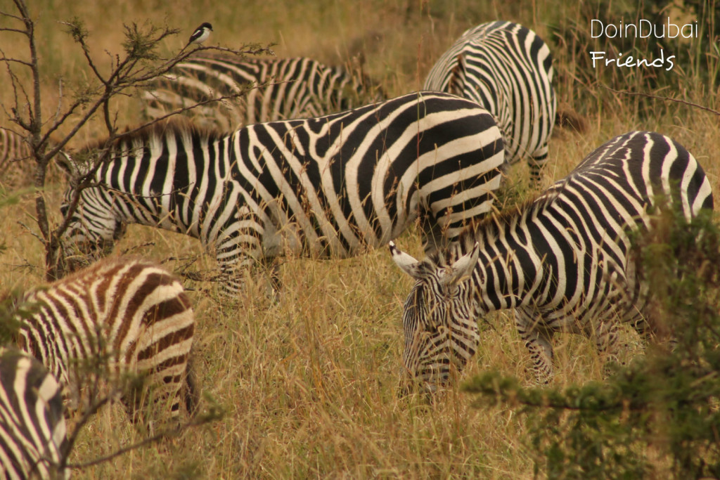 Safari packages Kenya Zebra family friends