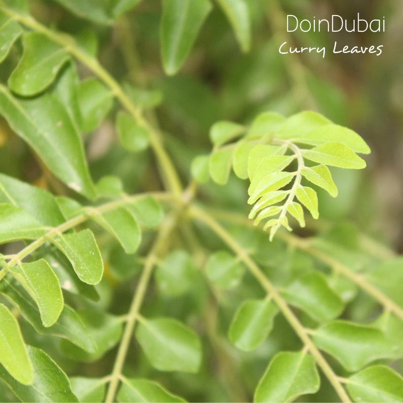 Gardening-In-Dubai-Curry-Leave