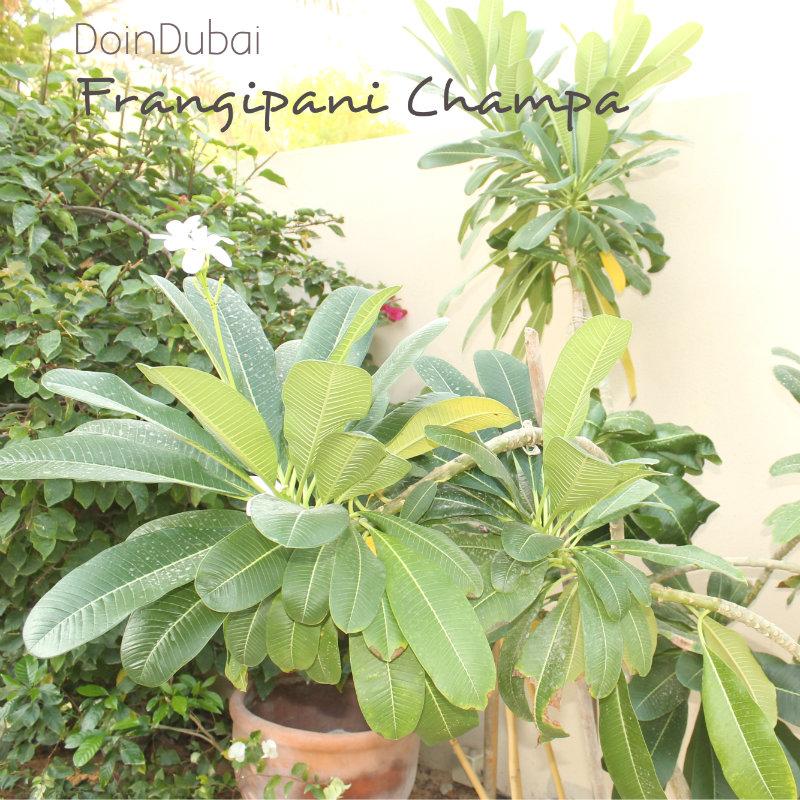Gardening-In-Dubai-Frangipani-Champa