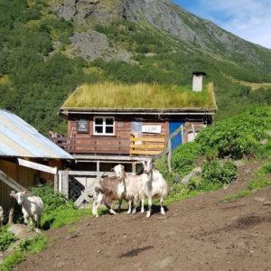 Image ofExploring Norway DoinDubai Aurland 292 Goat Farm Trek