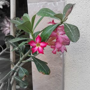 Gardening in Dubai DoinDubai desert rose side view