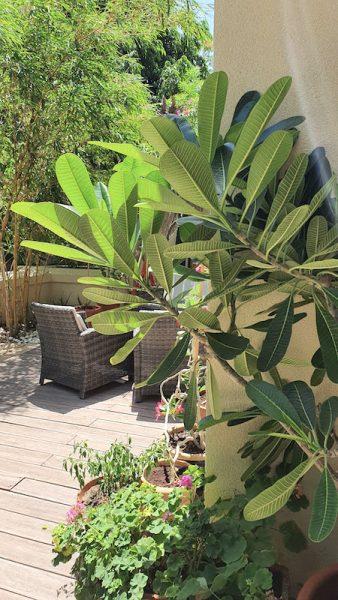 Gardening in Dubai DoinDubai frangipani side view